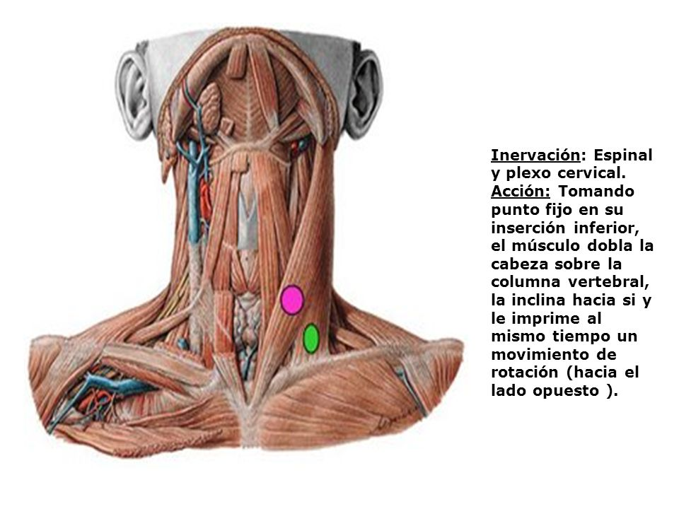Inervación: Espinal y plexo cervical.