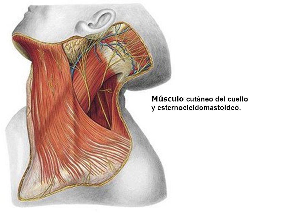 Bonito Músculos Del Cuello Ilustración - Anatomía de Las Imágenesdel ...