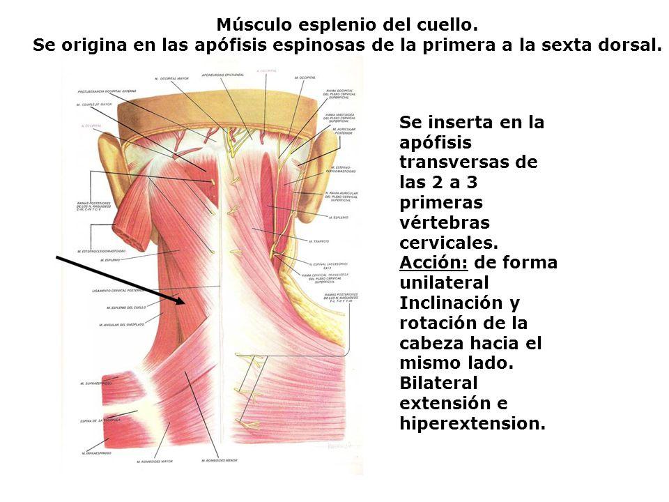 Músculo esplenio del cuello.