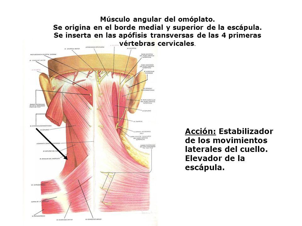 Músculo angular del omóplato.