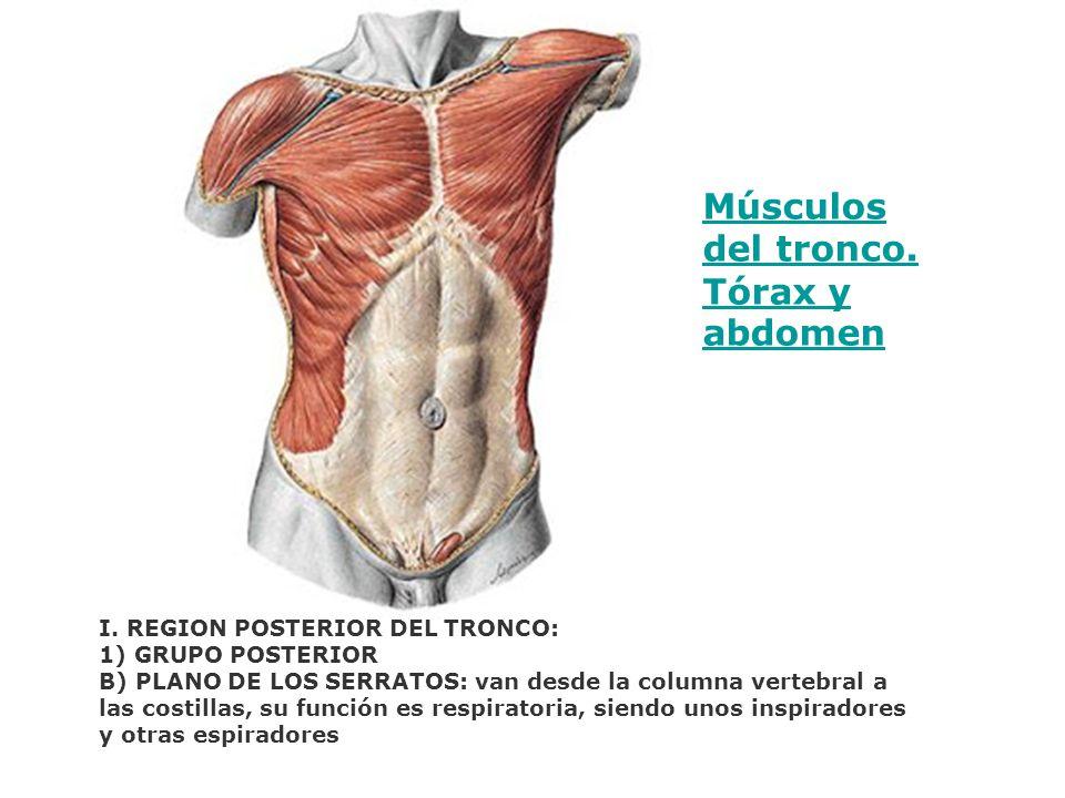Músculos del tronco. Tórax y abdomen