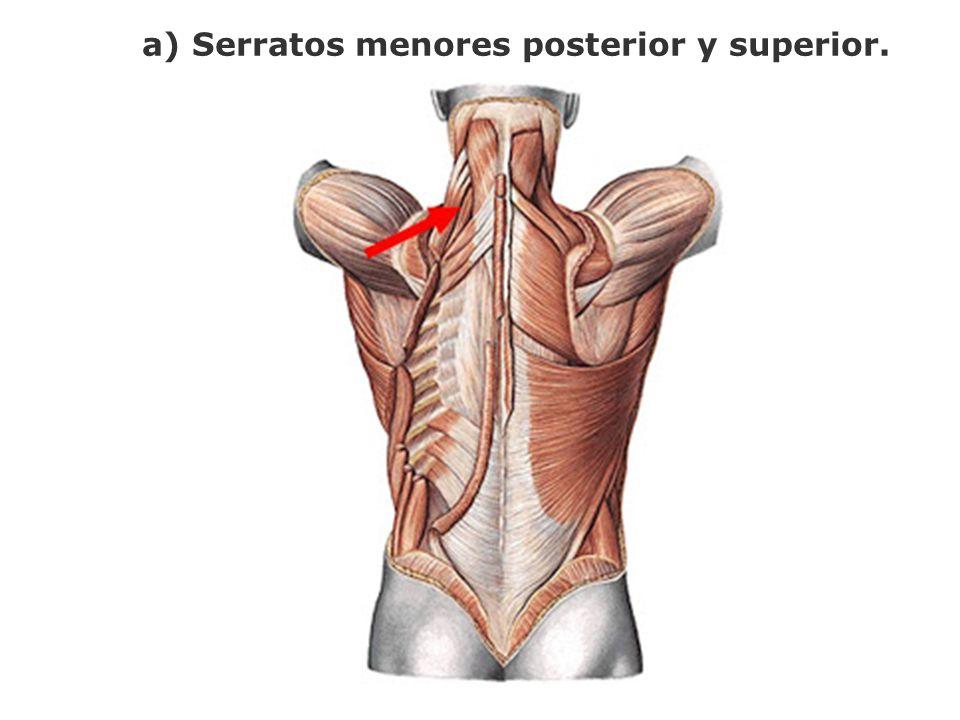 a) Serratos menores posterior y superior.