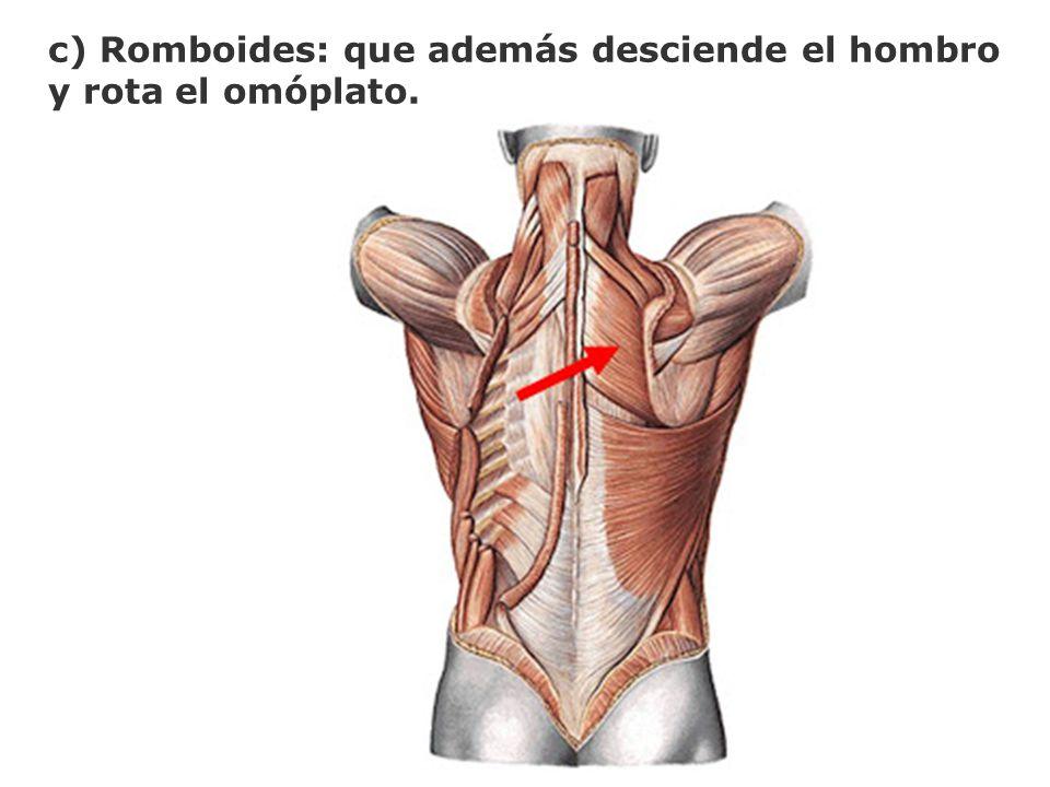 c) Romboides: que además desciende el hombro