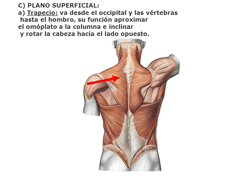 C) PLANO SUPERFICIAL: Trapecio: va desde el occipital y las vértebras. hasta el hombro, su función aproximar.