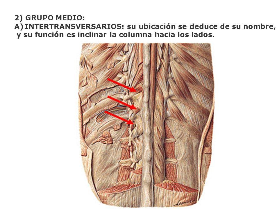 2) GRUPO MEDIO: INTERTRANSVERSARIOS: su ubicación se deduce de su nombre, y su función es inclinar la columna hacia los lados.