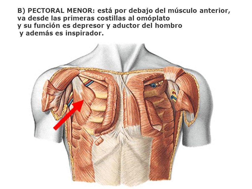 B) PECTORAL MENOR: está por debajo del músculo anterior,