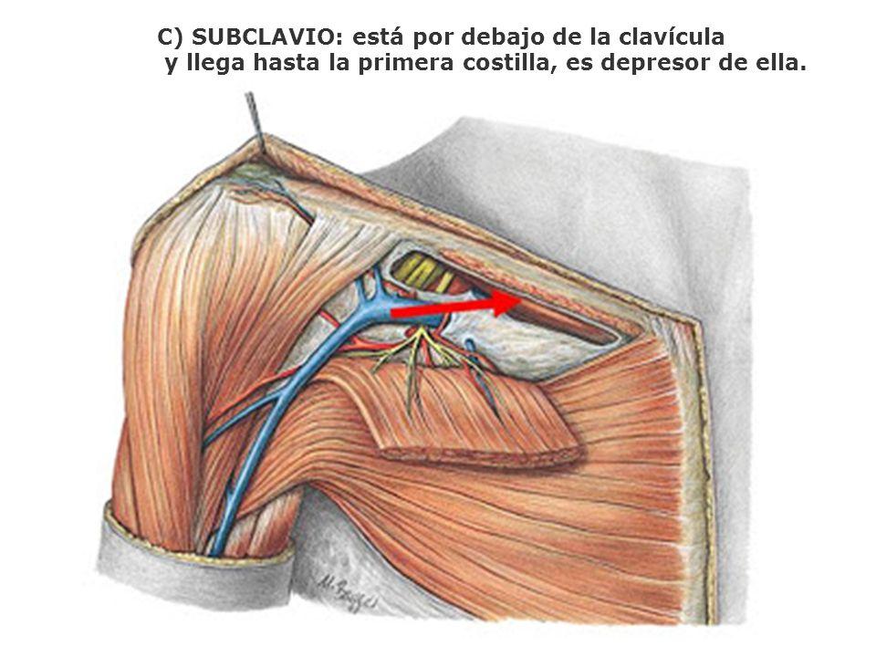 C) SUBCLAVIO: está por debajo de la clavícula