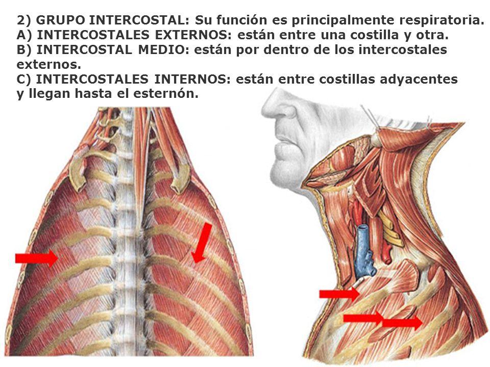 2) GRUPO INTERCOSTAL: Su función es principalmente respiratoria.