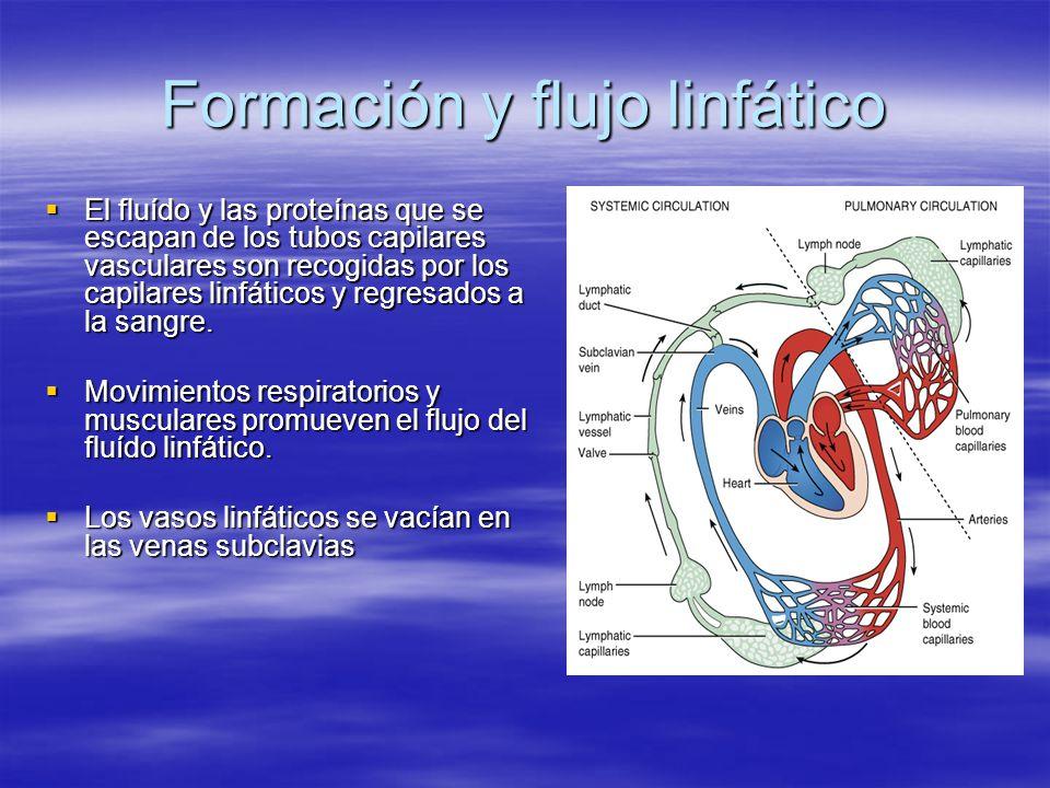 Formación y flujo linfático