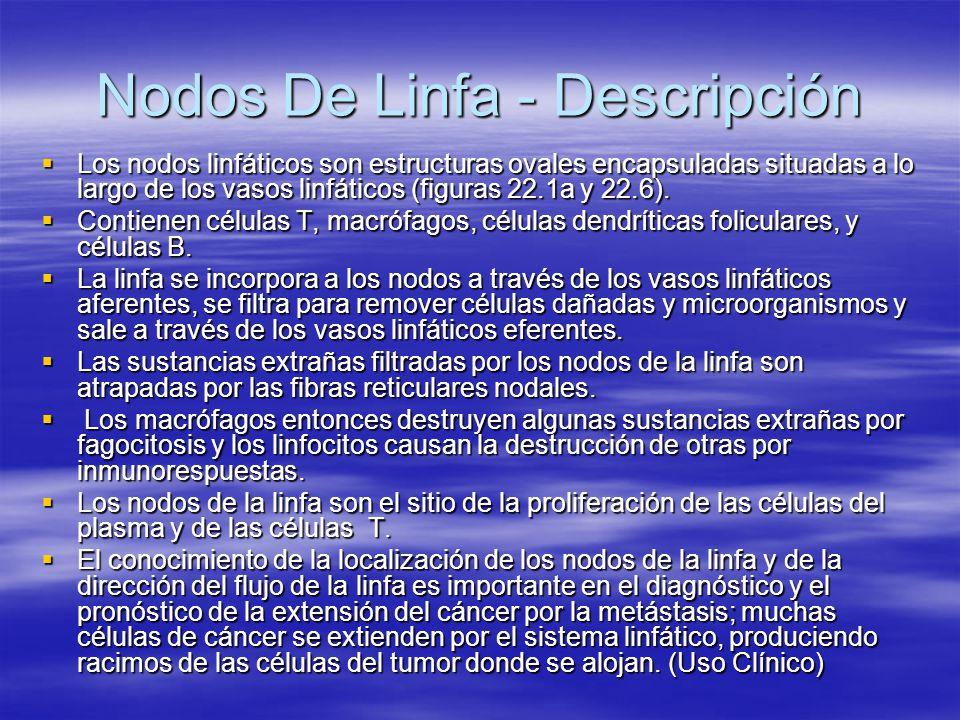 Nodos De Linfa - Descripción