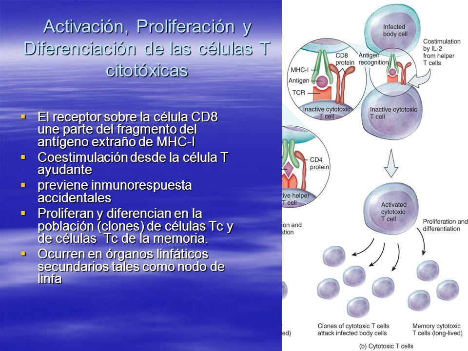 Activación, Proliferación y Diferenciación de las células T citotóxicas