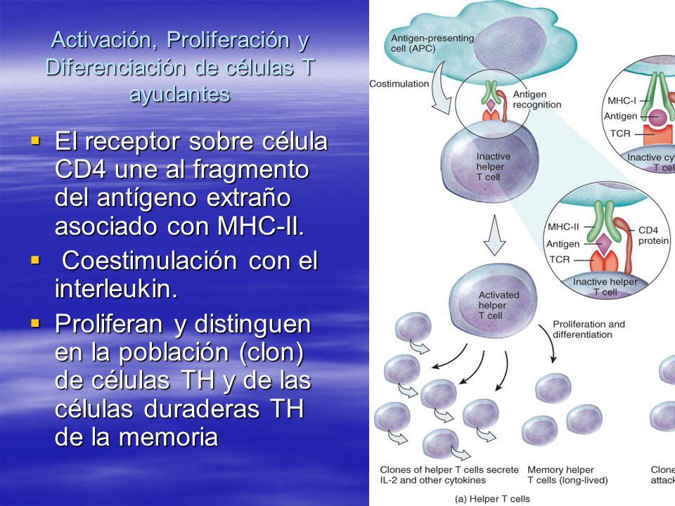 Activación, Proliferación y Diferenciación de células T ayudantes