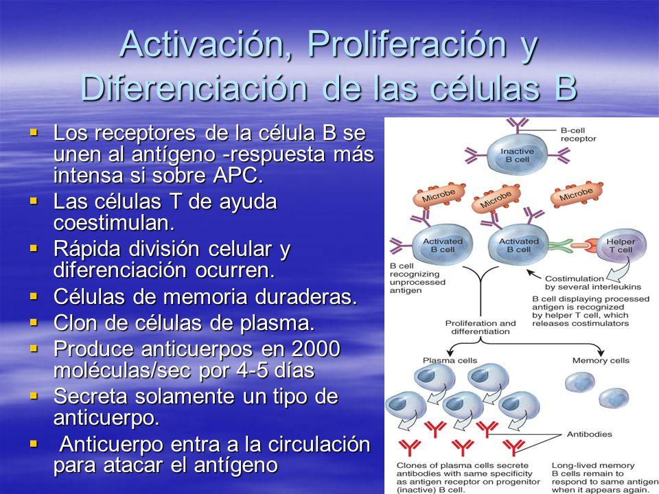 Activación, Proliferación y Diferenciación de las células B