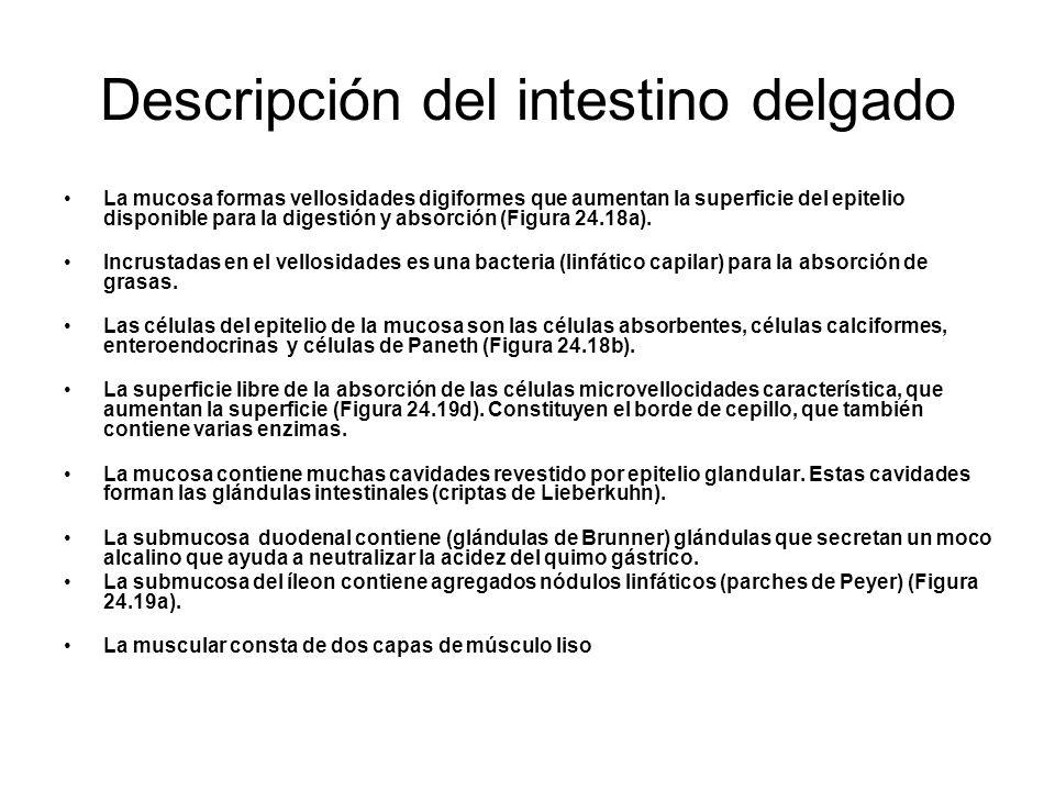 Descripción del intestino delgado