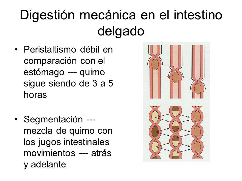 Digestión mecánica en el intestino delgado