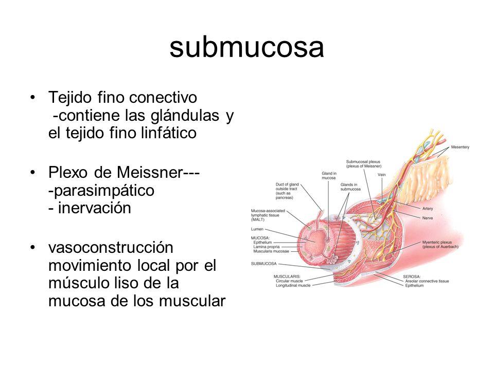 submucosa Tejido fino conectivo -contiene las glándulas y el tejido fino linfático. Plexo de Meissner--- -parasimpático - inervación.