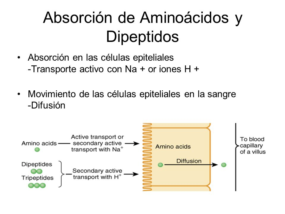 Absorción de Aminoácidos y Dipeptidos