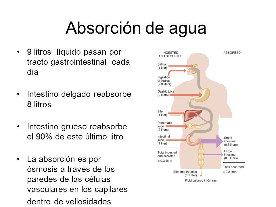Absorción de agua 9 litros líquido pasan por tracto gastrointestinal cada día. Intestino delgado reabsorbe 8 litros.