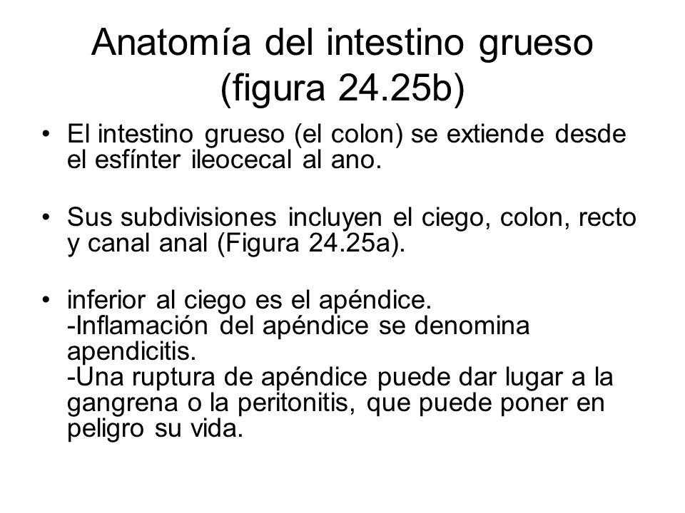 Anatomía del intestino grueso (figura 24.25b)
