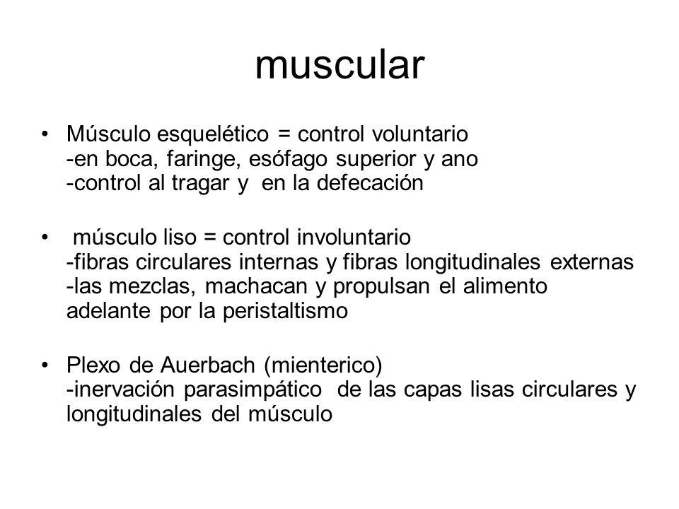 muscular Músculo esquelético = control voluntario -en boca, faringe, esófago superior y ano -control al tragar y en la defecación.