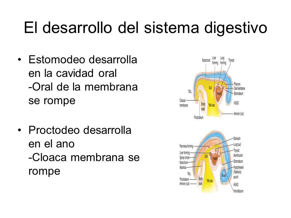 El desarrollo del sistema digestivo