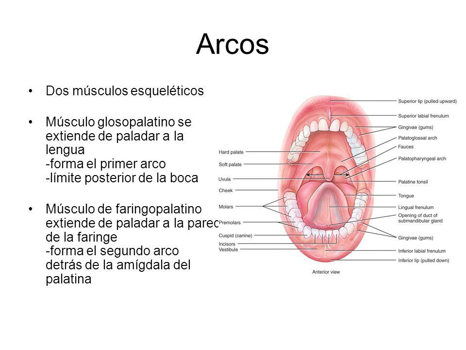 Arcos Dos músculos esqueléticos