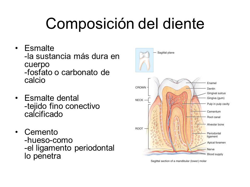 Composición del diente