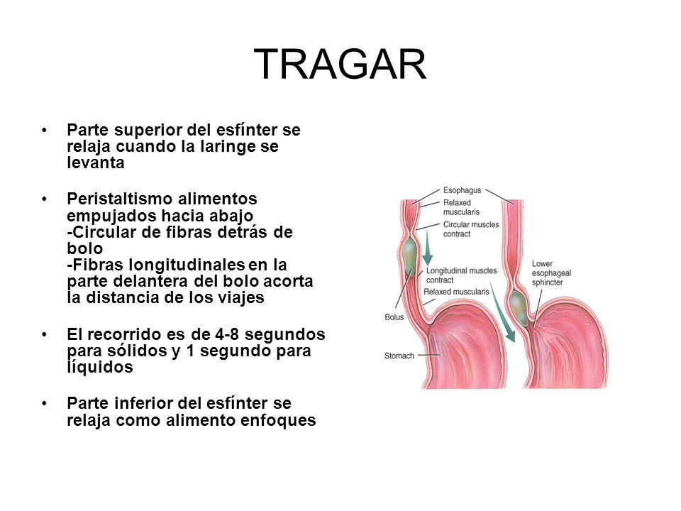 TRAGAR Parte superior del esfínter se relaja cuando la laringe se levanta.