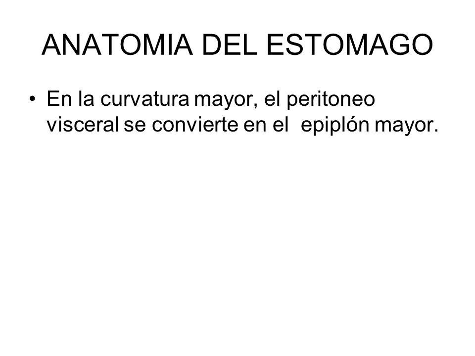 ANATOMIA DEL ESTOMAGO En la curvatura mayor, el peritoneo visceral se convierte en el epiplón mayor.