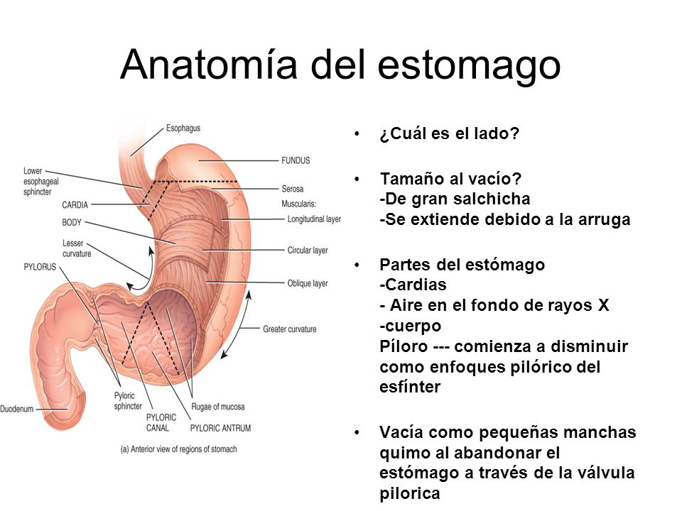 Famoso Anatomía Del Estómago Ppt Modelo - Anatomía de Las ...