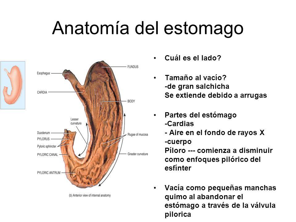 Anatomía del estomago Cuál es el lado