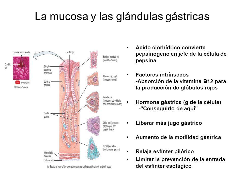 La mucosa y las glándulas gástricas
