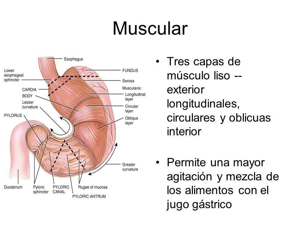 Muscular Tres capas de músculo liso -- exterior longitudinales, circulares y oblicuas interior.