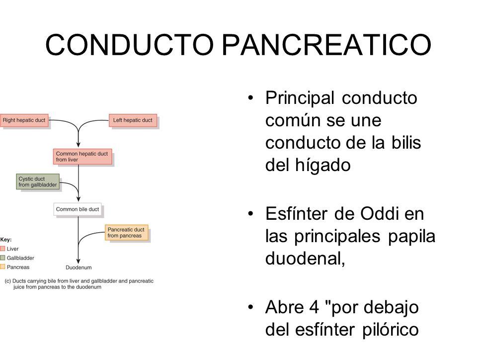 CONDUCTO PANCREATICO Principal conducto común se une conducto de la bilis del hígado. Esfínter de Oddi en las principales papila duodenal,