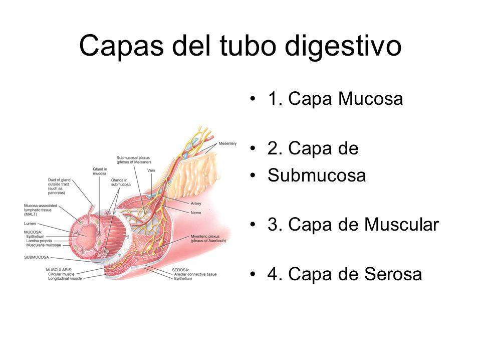 Capas del tubo digestivo
