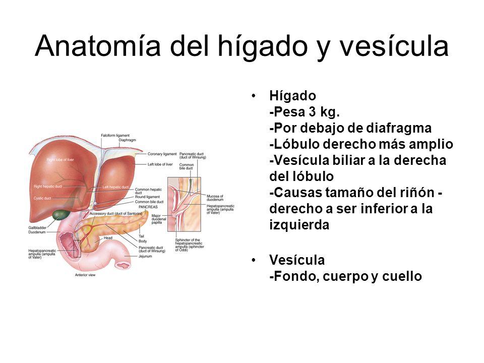 Anatomía del hígado y vesícula