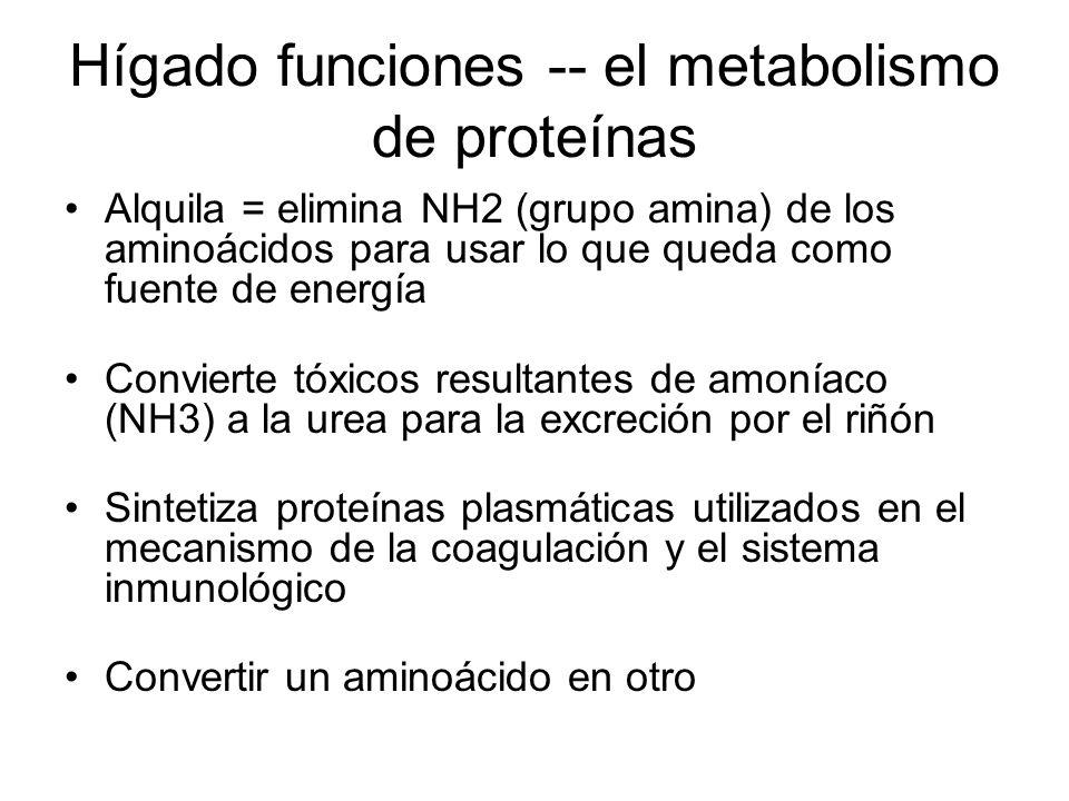 Hígado funciones -- el metabolismo de proteínas