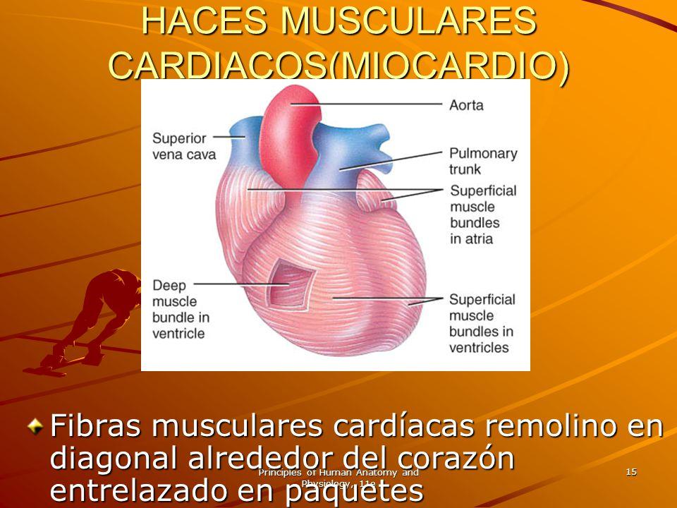 HACES MUSCULARES CARDIACOS(MIOCARDIO)