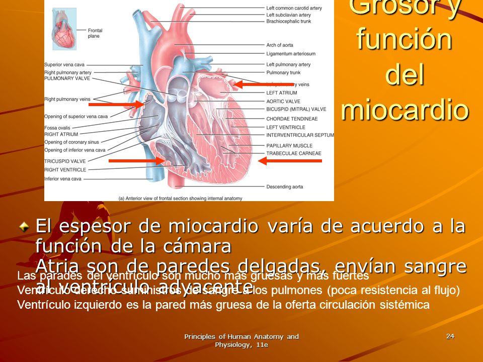 Grosor y función del miocardio