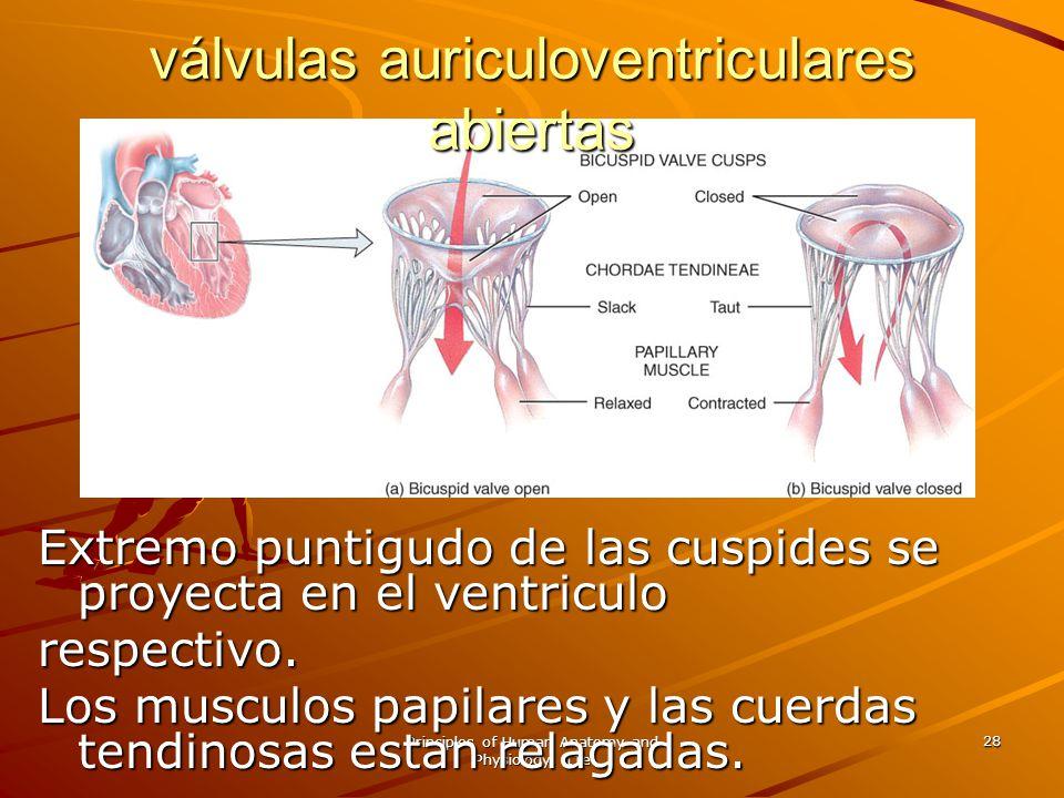 válvulas auriculoventriculares abiertas