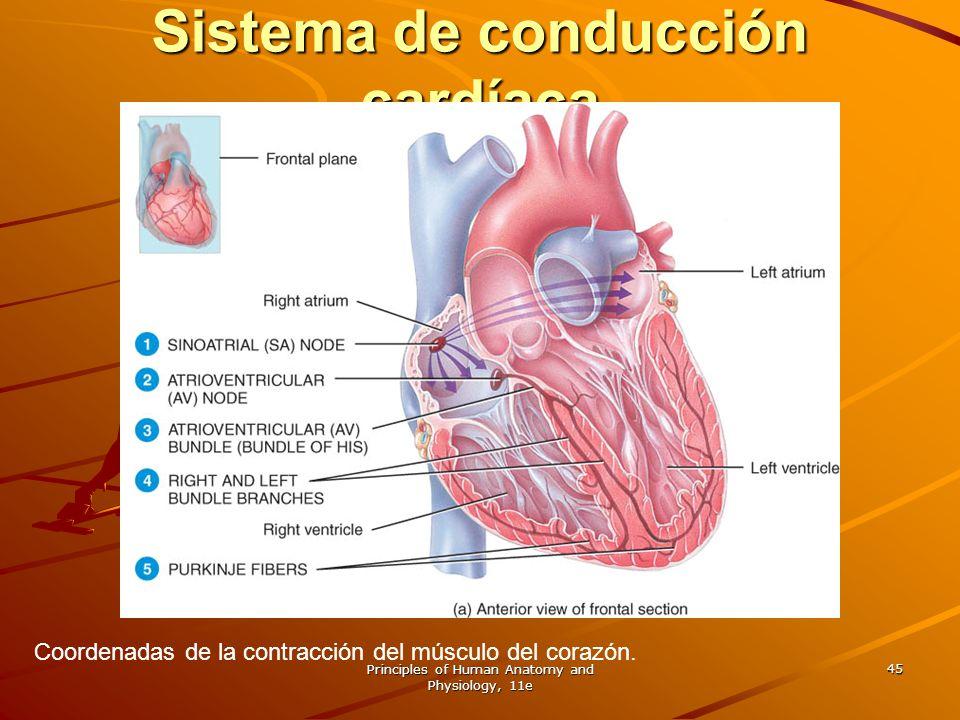Sistema de conducción cardíaca