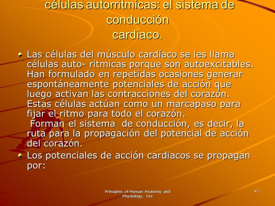 células autorritmicas: el sistema de conducción cardiaco.
