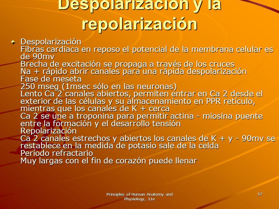 Despolarización y la repolarización