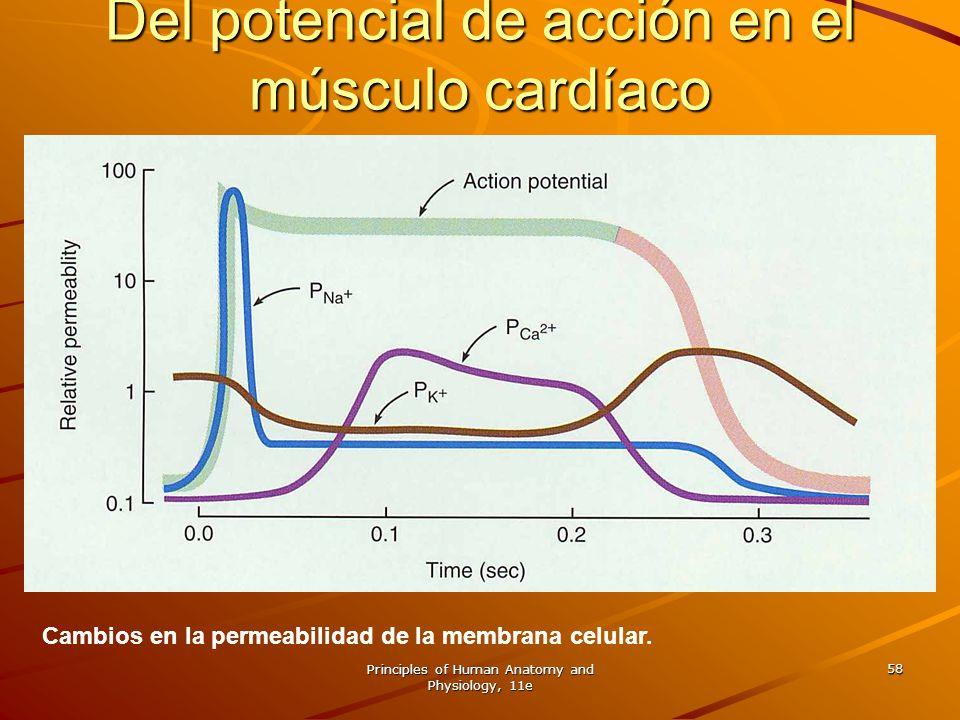 Del potencial de acción en el músculo cardíaco