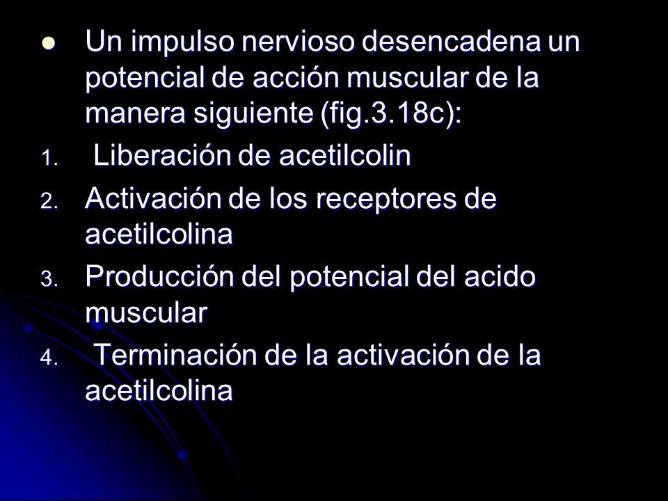 Un impulso nervioso desencadena un potencial de acción muscular de la manera siguiente (fig.3.18c):
