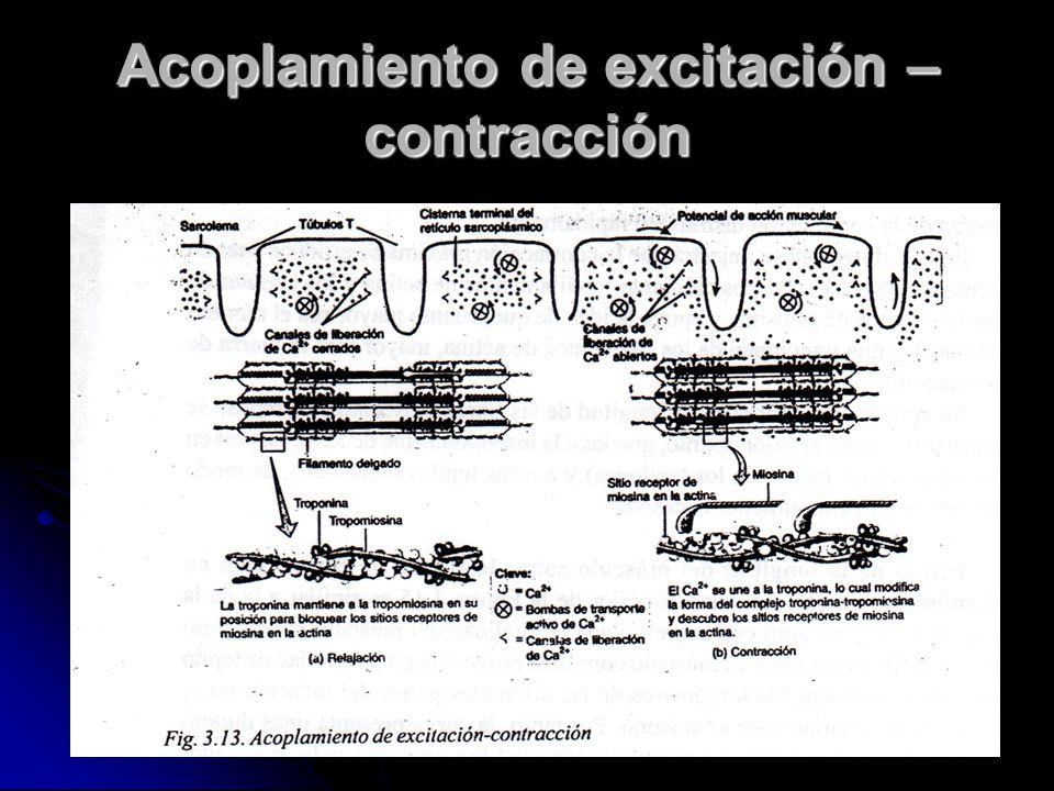 Acoplamiento de excitación – contracción