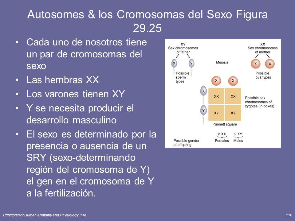 Autosomes & los Cromosomas del Sexo Figura 29.25