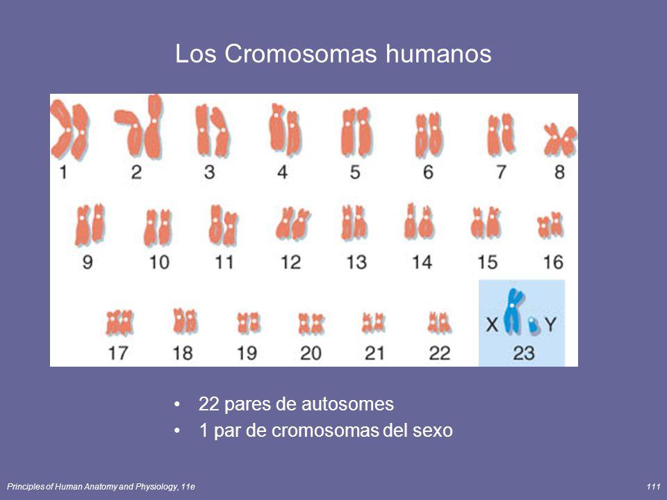 Los Cromosomas humanos