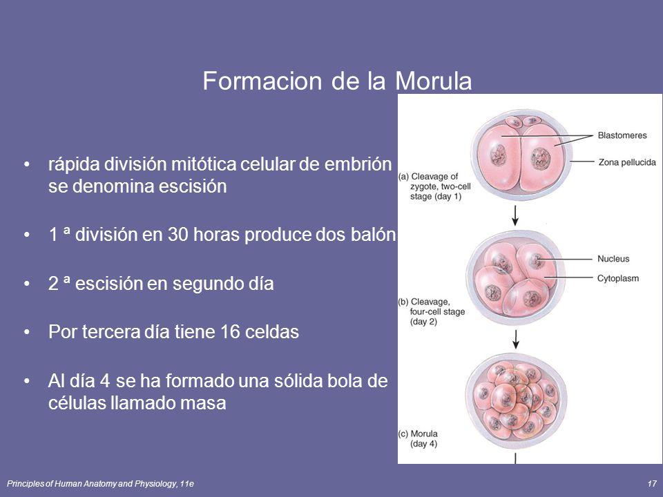 Formacion de la Morula rápida división mitótica celular de embrión se denomina escisión. 1 ª división en 30 horas produce dos balón.