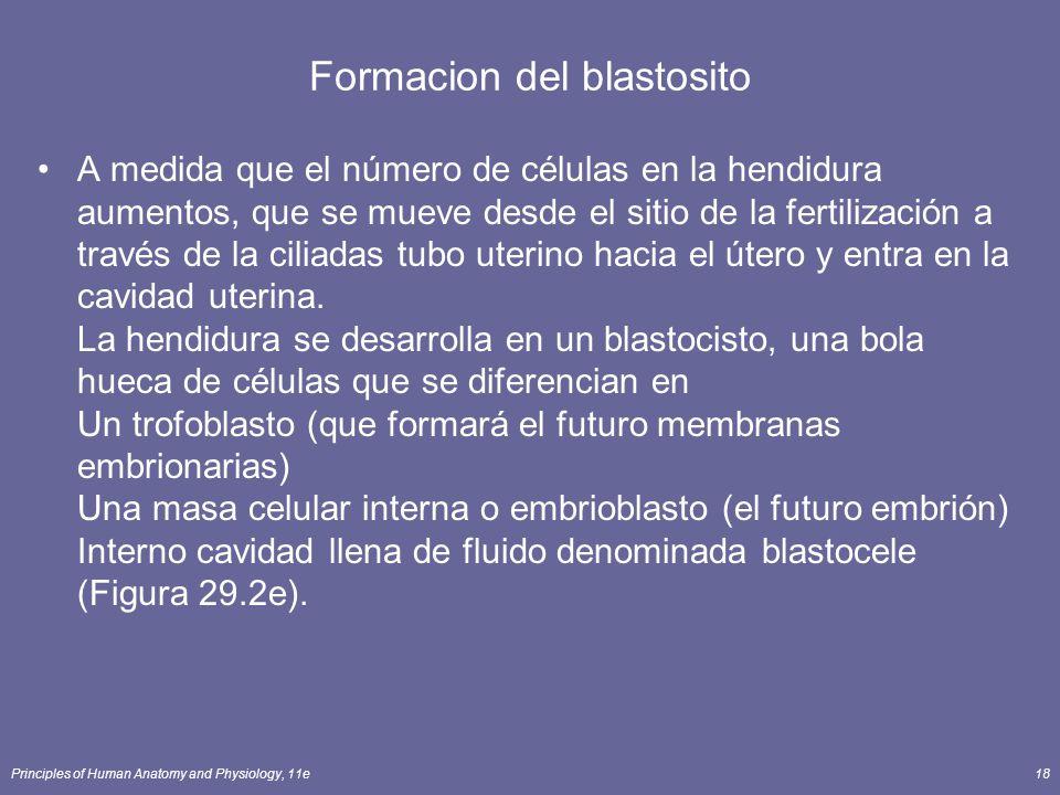 Formacion del blastosito